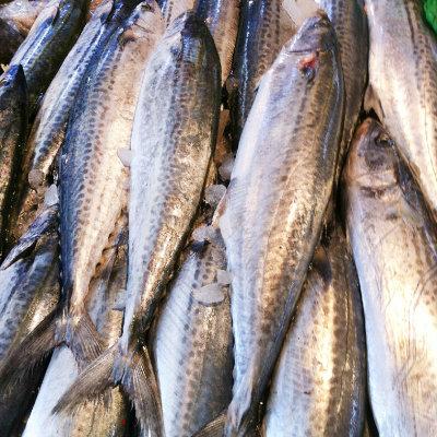 大鲅鱼10斤/条左右 马鲛鱼 鲅鱼 燕鱼 板鲅 竹鲛 海产品 大连海鲜